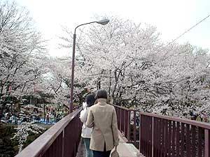 高嶋城 桜